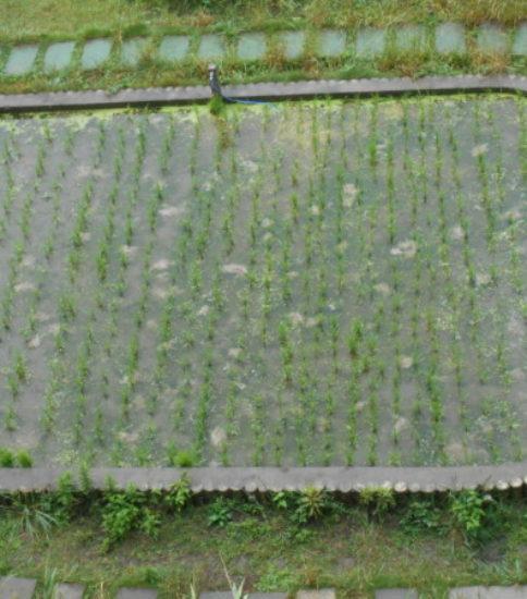 田んぼの稲が生長中