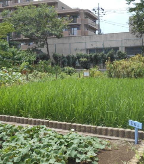 稲、伸びる。サツマイモも、また、伸びる。
