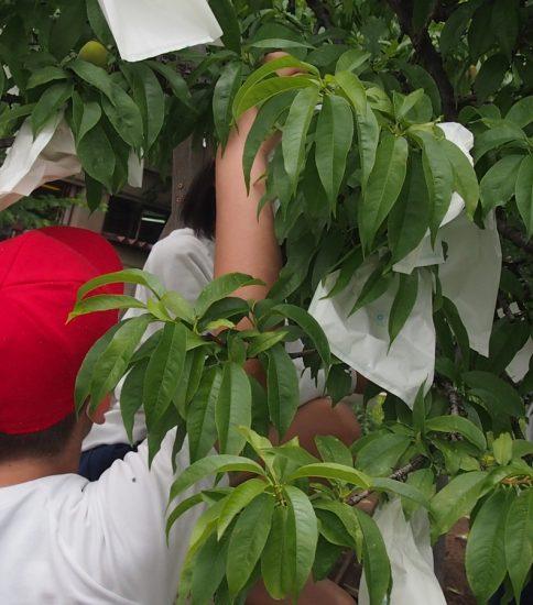 桃の袋がけから収穫まで