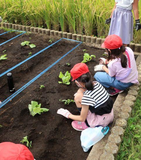 冬に向けて野菜を植えました
